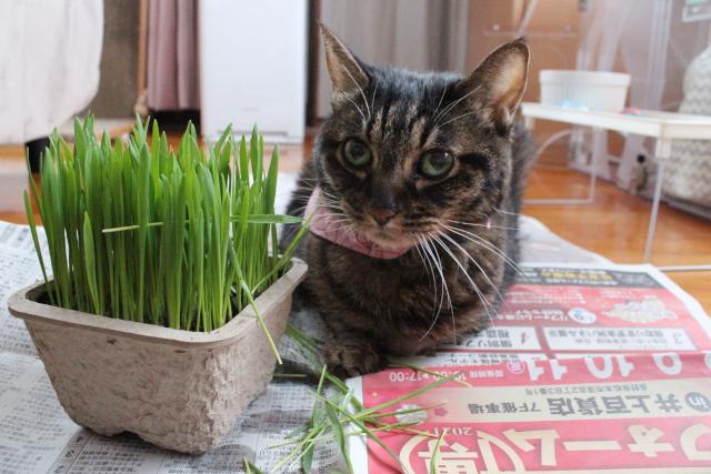 ちゃあさんに猫草を