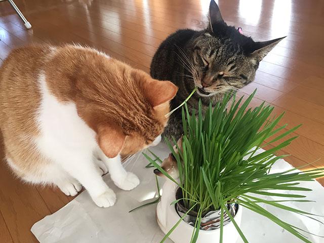上手に猫草食べます