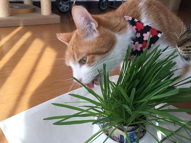 猫草がぶりっ
