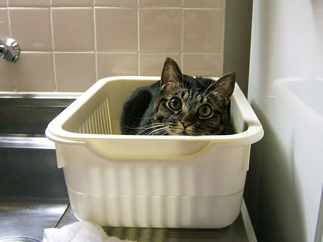 洗いカゴ猫