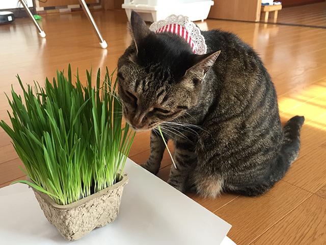 猫草じょうずに食べられるかな