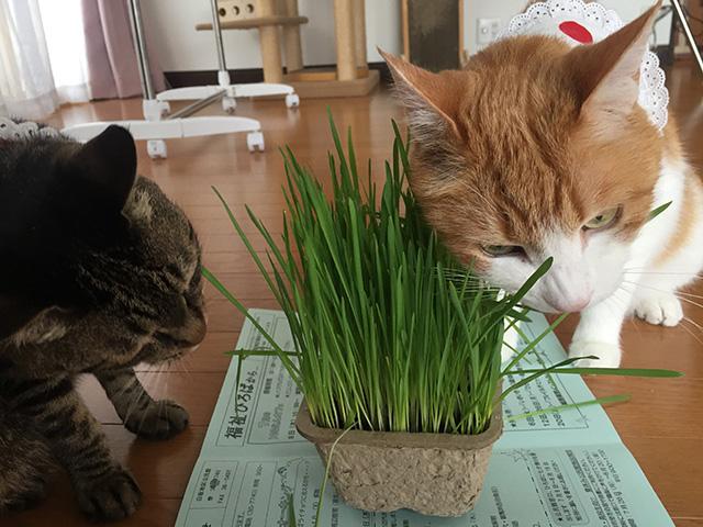 猫草大好き猫s