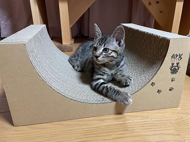 子猫の里親募集、らんちゃん