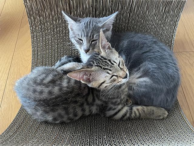 子猫の里親募集、つぶちゃん