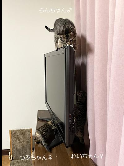 液晶テレビの上を歩く猫
