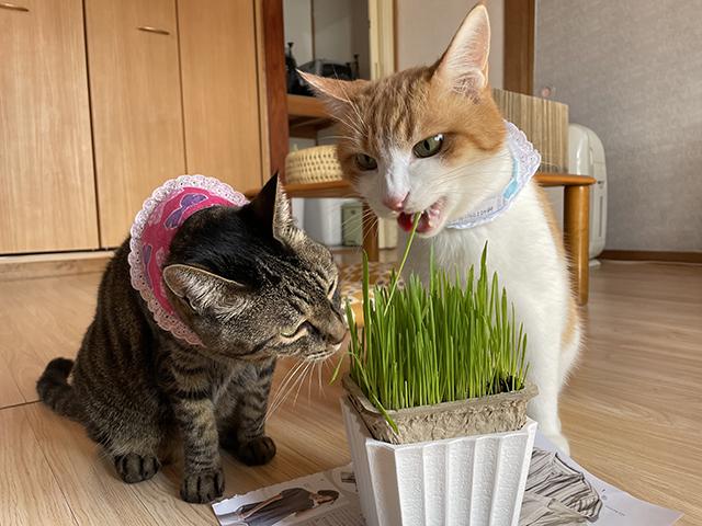 本日の猫草