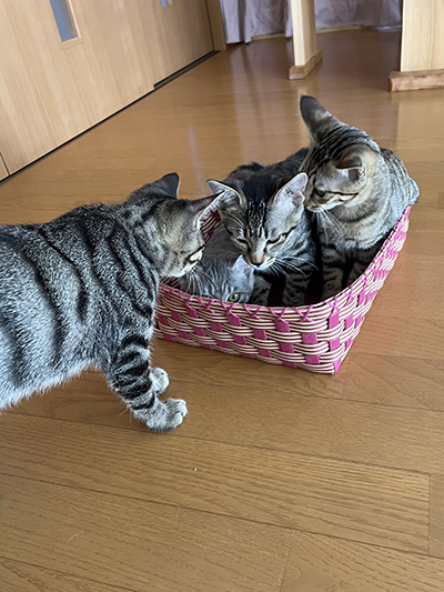 もめるカゴ猫