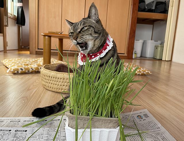 おめぐさんも猫草