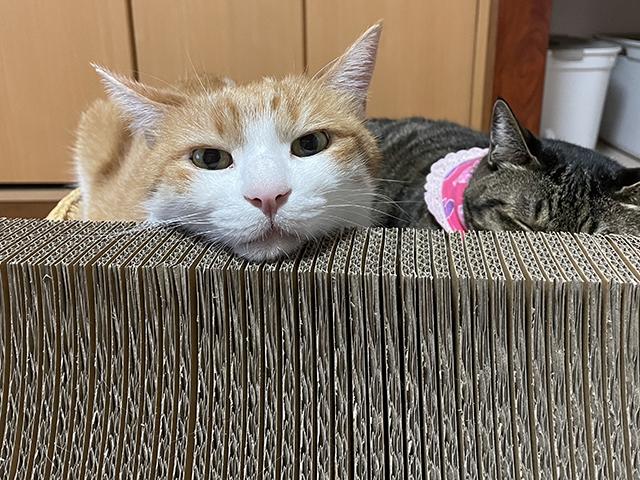 あご乗せ猫