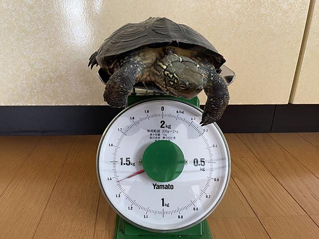 かめき千代 体重:1365g