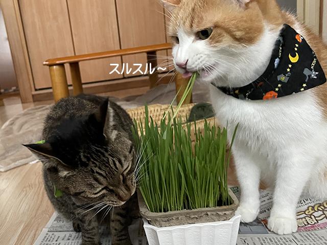 猫草じょうずに食べます