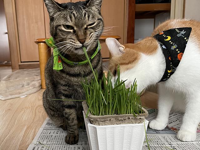 猫草好きだよね~